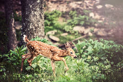 Fawn Whitetail Deer stock afbeeldingen