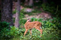 Fawn Whitetail Deer, die zurück schaut Lizenzfreies Stockbild
