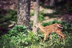 Fawn Whitetail Deer nära träd Arkivfoto