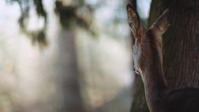 Fawn Whitetail Deer Odocoileus-virginianus het verbergen in het reservebos, vlucht voor veiligheid Groot landschap amazing stock video