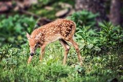 Fawn Whitetail Deer som ner ser Arkivfoton