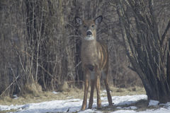 Fawn Whitetail straight on Royalty Free Stock Photos