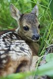 Fawn in the wild Royalty Free Stock Photo