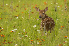Fawn In Wildflowers Arkivfoto