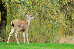 Fawn with willow trees in the background Royalty Free Stock Photos