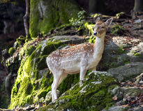 Fawn in the woods close to a rocky formation. Royalty Free Stock Image