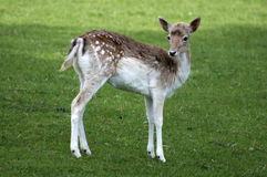 Fawn - young deer Royalty Free Stock Photos