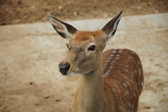 Fawn. Young deer with white spots Royalty Free Stock Photography
