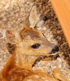 Fawn, Young, Small, Sweet, Head Royalty Free Stock Photo