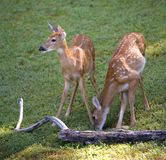 Fawns. A pair of whitetail fawns on a morning field stock photos