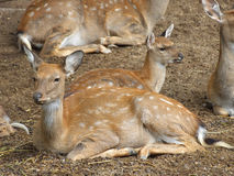 Fawns Stock Photos
