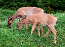 Fawns che mangiano erba Fotografia Stock