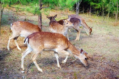Fawns. In a deer farm Stock Photography
