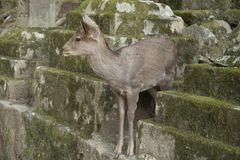 Fawns or deer among the stone lanterns in Tobishino in the city of Nara in Japan 6 royalty free stock photo