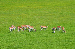 Fawns and female deers Royalty Free Stock Photo