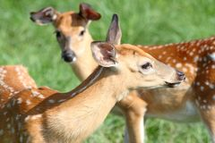 Fawns in grass Stock Photography