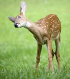 Fawns head moving Royalty Free Stock Photo