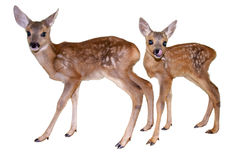 Fawns isolated Stock Photos