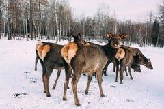 Fawns, jonge roodbruine herten en moeder in de winter Royalty-vrije Stock Foto