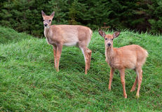 Fawns Looking at the Camera Royalty Free Stock Image