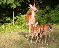 Fawns and mom Royalty Free Stock Photo