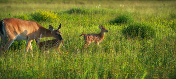 Fawns with Mother Stock Photography