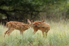 Fawns in the Rain Stock Photo