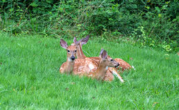 Fawns at rest Stock Images