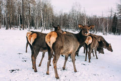 Fawns, young red brown deer and mother in winter Royalty Free Stock Photo
