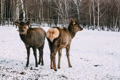 Fawns, young red brown deer in winter Stock Photo