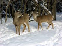 Faz na neve do inverno Imagem de Stock Royalty Free