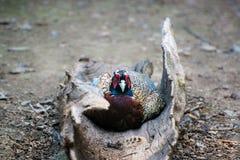 fazant Royalty-vrije Stock Afbeeldingen