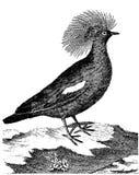fazant Royalty-vrije Stock Afbeelding