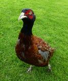 fazant Royalty-vrije Stock Foto