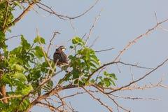 Fazant in boom stock afbeeldingen