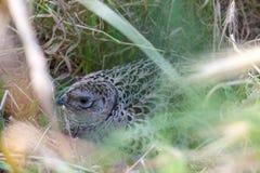 Fazant mannelijke vogel in een duinenlandschap Stock Fotografie