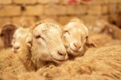 Fazenda de criação, rebanho dos carneiros Tiro interno foto de stock royalty free