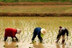 Fazendeiro 3 do arroz fotos de stock