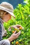 Fazendeiro Checking Tangerines Fotos de Stock Royalty Free