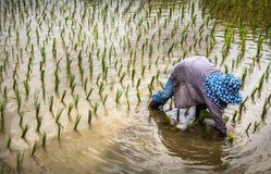 Fazendeiro com as plântulas de transplantação do arroz do chapéu de palha no campo de almofada Foto de Stock