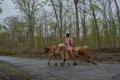Fazendeiro com o carro de boi na estrada de floresta do dandeli fotografia de stock