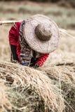 Fazendeiro com o chapéu de palha que trabalha durante a colheita do arroz Imagens de Stock Royalty Free