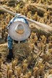 Fazendeiro com o chapéu de palha que trabalha durante a colheita do arroz Imagem de Stock