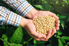 Fazendeiro com o feijão de soja do od do punhado no campo cultivado fotografia de stock