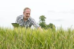 Fazendeiro com o tablet pc que olha abaixo de um campo de trigo verde Fotografia de Stock