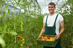 Fazendeiro com tomates Imagens de Stock Royalty Free