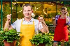 Fazendeiro com uma colheita da morango em uma estufa Fotografia de Stock Royalty Free