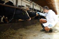 Fazendeiro com vacas imagem de stock royalty free