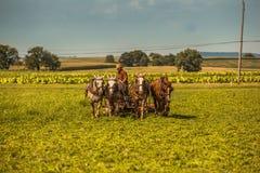 Fazendeiro Cuts Hay de Amish fotos de stock