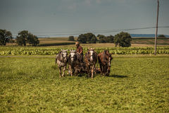 Fazendeiro Cuts Hay de Amish fotografia de stock